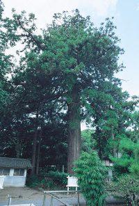壱岐安国寺のスギ