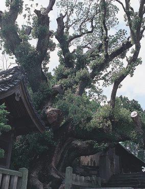 大徳寺の大クス