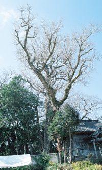 鷹島の公孫樹