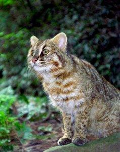 ツシマヤマネコの画像 p1_4